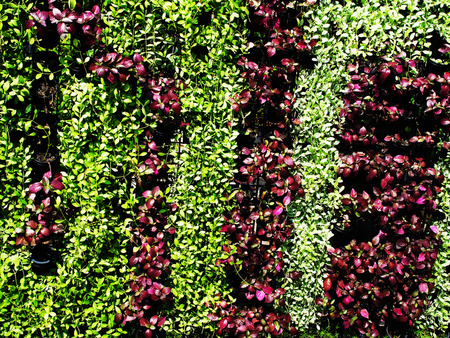 floriculture: A vertical garden of various plants to create a cool shady and save space. Stock Photo