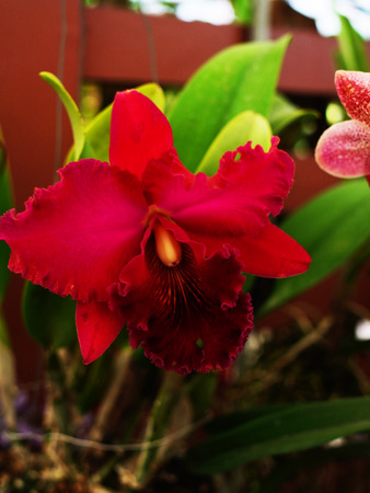 The flower has three narrow sepals and three broader petals . The two petals are similar to each other but the third is like lip.