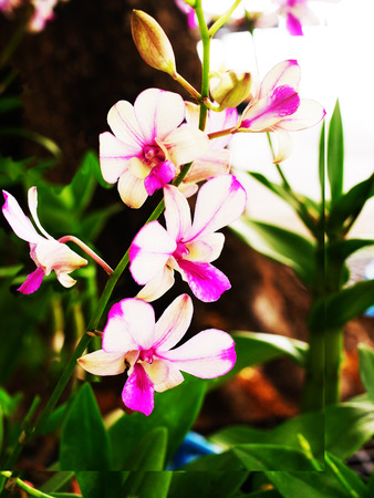 epiphytic: The epiphytic dendrobium species of orchid which is vert  popular in Thailand.