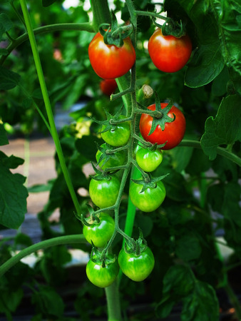 considers: The tomato considers to be either fruit or vegetable. The plant has a weak stem that often sprawls over the ground  or over other plants.