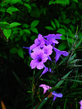funnel shaped: The funnel - shaped violet - colored flowers that can also be known  as Minnie Root , Fever Root and Sheep root. Stock Photo