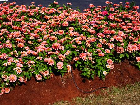 jardines con flores: Zinnias son flores del jardín de álamos con una amplia gama de colores y son atractivos para las mariposas.