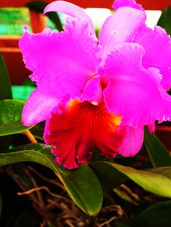 broader: The flower has three narrow sepals and three broader petals . The two petals are similar to each other but the third is like lip.