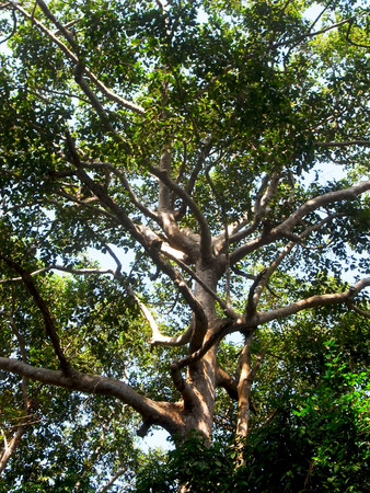 tropical evergreen forest: Dipterocarpus alatus is a tropical forest tree and be considered as and endangered species.