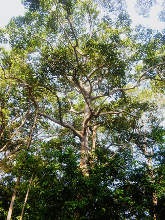 endangered species: Dipterocarpus alatus is a tropical forest tree and be considered as and endangered species.
