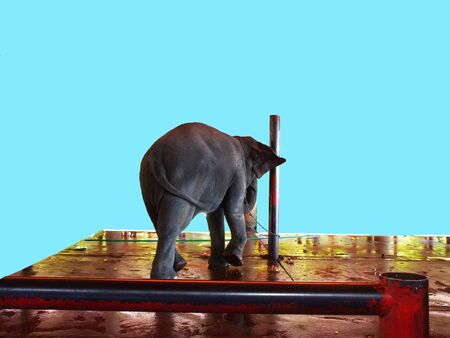 An chained elephant standing on a stage.