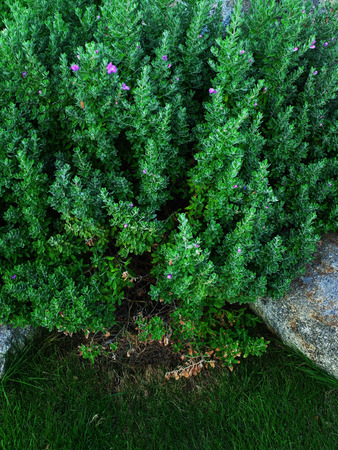 funnel shaped: Texas Sage is an ornamental plant that can be grown in rocky , calcareous soils.