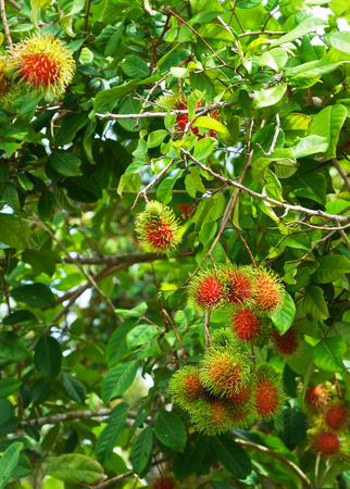 leathery: Bunches of rambutan fruits on parent tree in a orchard.