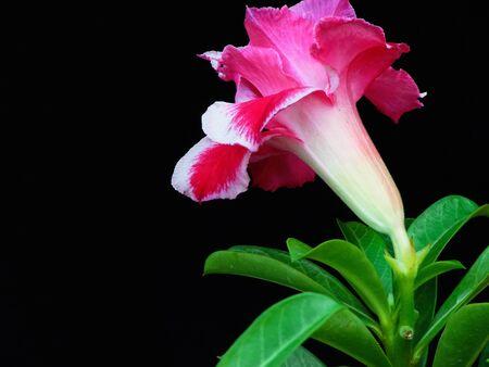 tropical shrub: A desert rose flower on black isolation.