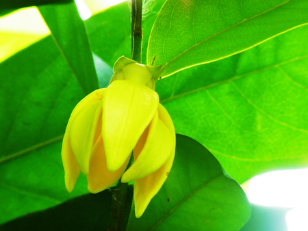 siamensis: A yellow flower of a climbing plant with fragrant and lemon - like scent.