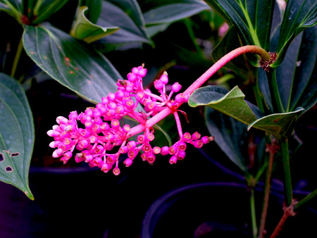 liked: A panicle of medinilla flowering plant which is native to tropical regions.