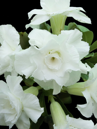 White adenium  flowers are arranged in radiated pattern. Stock Photo
