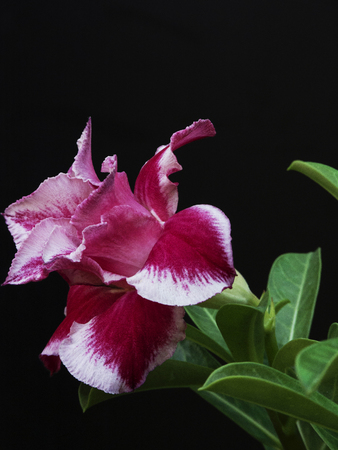 tropical shrub: A side view of a pink desert rose in full bloom.