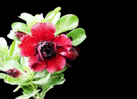 tropical shrub: Dark  red desert roses in bloom and bud on black isolation. Stock Photo