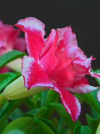 A full bloom pink desert rose by side view.