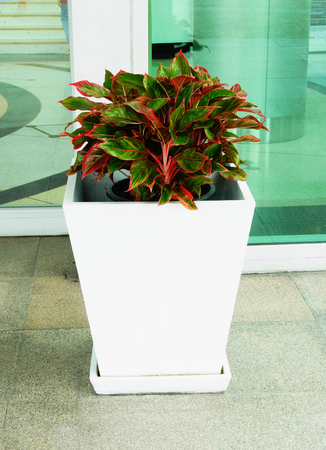 Green and red colored leafy plants grown as ornamental plants in a pot. Stock Photo