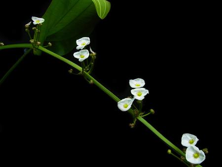 echinodorus: Echinodorus cordifolius  Stock Photo