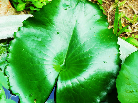 Green lotus leaves glisten in a pond.