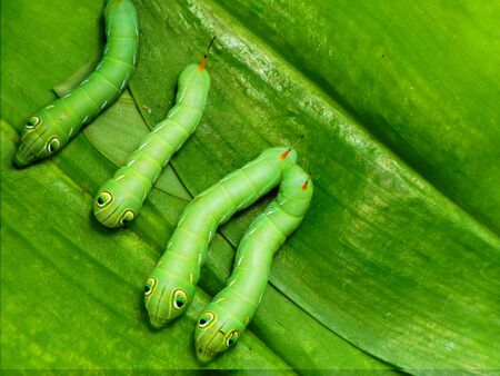voracious: Larvae of the insect lie waiting for eating plant leaves.