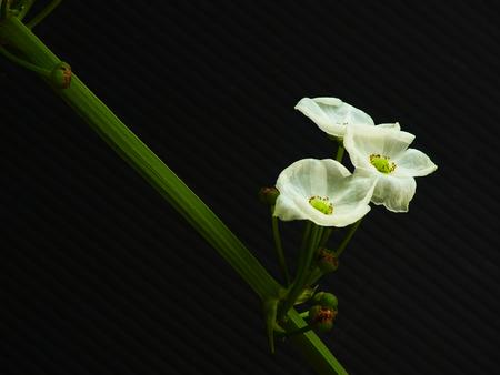 echinodorus: Echinodorus cordifolius is a tropical plant with arching or decumbent white  inflorescences.