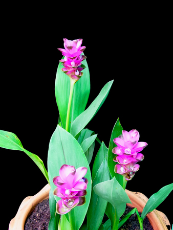 ginger flower plant: Flowers  of curcuma alismatifolia which is a plant in ginger species. Stock Photo