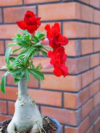 tropical shrub: Red flowers of desert roses grown as pot plant. Stock Photo