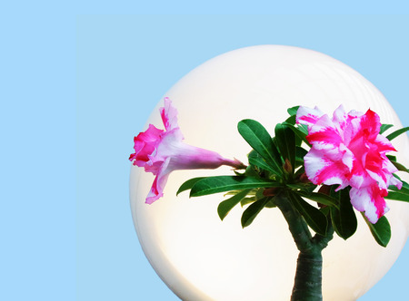 adenium: Adenium flowers are blooming  in  white halo on blue background. Stock Photo
