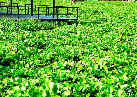 invader: A pier of a river was surrounded by mats of water hyacinth. Stock Photo