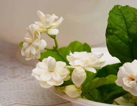 tropical shrub: Jasmines are popular flower and have strong and sweet scented. Stock Photo