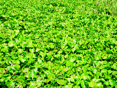invader: Thick mats of water hyacinth cover the entire surface of a river. Stock Photo
