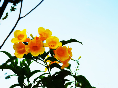flowering plant: The flowering plant with attractive yellow flowers . Stock Photo