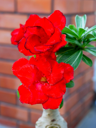 Red flowers of desert roses grown as pot plant. Stock Photo