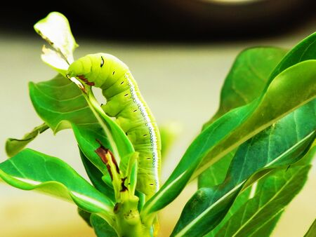 A voracious caterpillar are eating leaves .
