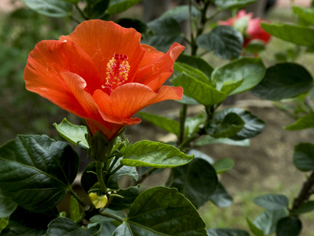 tropical shrub: The orange flower with trumpet - shaped and five or more petals.