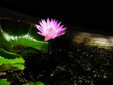 The lotus symbolizes beauty , purity  , knowledge and serenity.