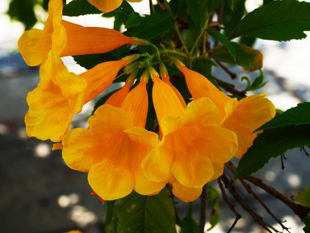 The bright golden yellow trumpet - shaped flowers of Tecoma stans.