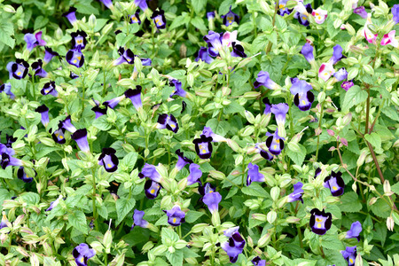 markings: The garden plants that have purple flowers with yellow markings.