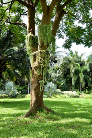 tiers: Dischidia plants grow on a big tree in multiple tiers  as epiphytes. Stock Photo