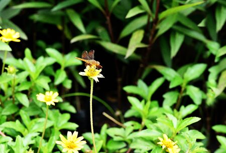 yellow star: A dragonfly catchs on  a Little Yellow Star flower . Stock Photo