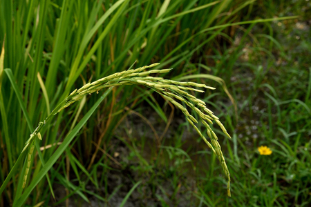 staple food: Rice is the seed of the grass oryza sativa and is the staple food for populaton in Asia. Stock Photo