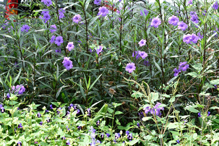 funnel shaped: The small biennial plants with striking funnel - shaped violet - colored flowers.