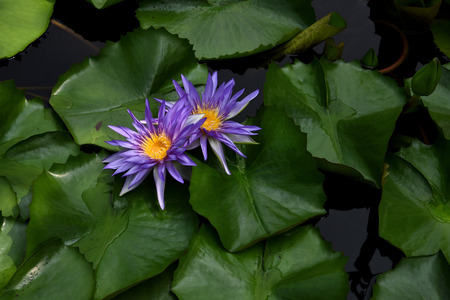 rise above: The aquatic flowering plant that has lily pads which float on the water and blossoms which rise above the water.