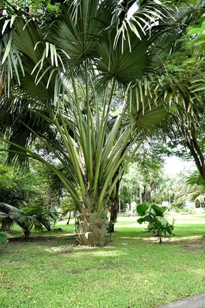 The fan palm has solitary trunk and can be grown as an indoors or outdoors plants. Stock Photo