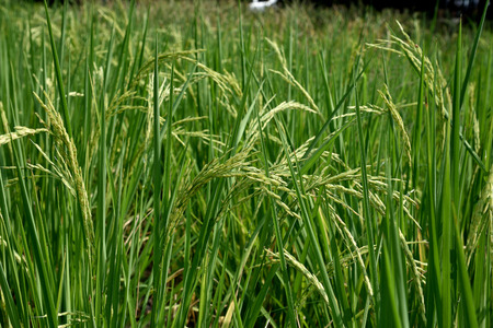 staple: Rice is the seed of the grass oryza sativa and is the staple food for populaton in Asia. Stock Photo