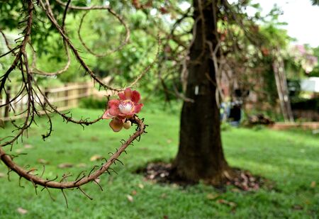 methanol: The complex pink flower of Sal tree with heavenly scented and can grow directly from the trunk or branches. Stock Photo