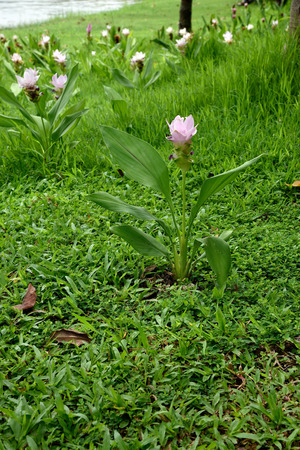 ginger flower plant: Tulip-liked flower of a plant in ginger species.