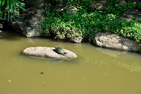 cold blooded: A turtle takes a sunbath  with limbs withdrawal on a rock in a pool . Stock Photo