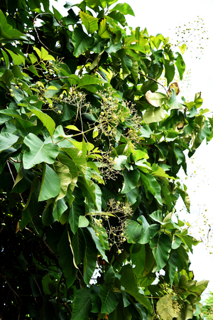 papery: The large , deciduous tree with grayish brown branches ,flowers , fruits and ovate - elliptic leaves.