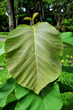 papery: The young teak with ovate - elliptic hairy  leaves