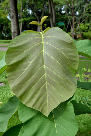 elliptic: Young teak with ovate - elliptic leaves that are held on robust petioles.